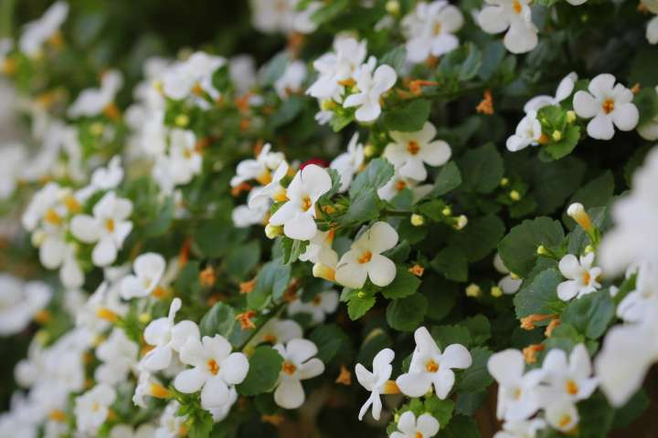 Bacopa monieri