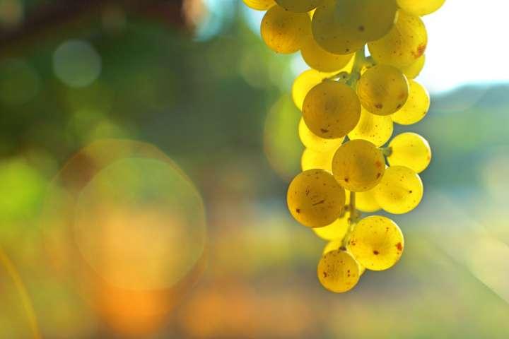 Le raisin protège notre peau du soleil