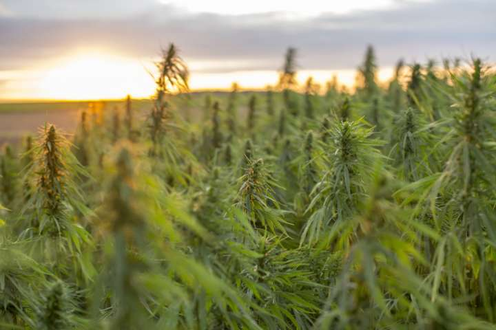 champs de cannabis