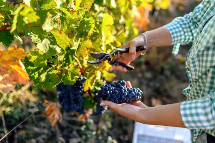 Femme récoltant les raisins