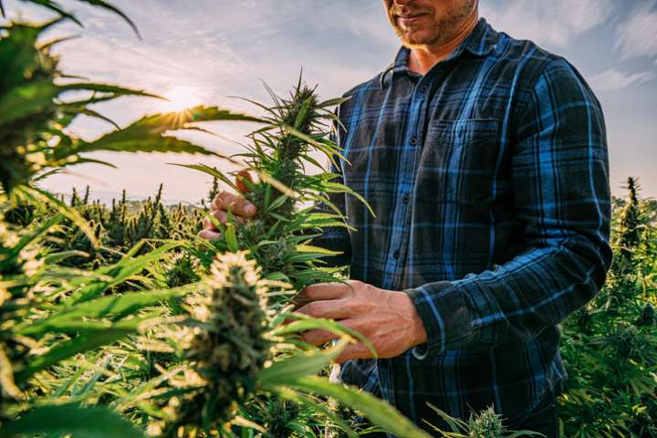 Producteurs cannabis thérapeutique France