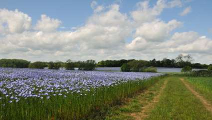 Champs de fleur de lin