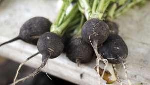 Le jus de radis noir, racine riche en composés soufrés, permet l'augmentation de la quantité et de la fluidité biliaire.