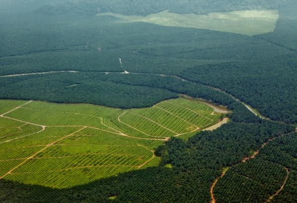 Champs de palmier à huile