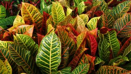 Croton ceanothifolius
