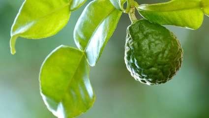Bergamote (Citrus bergamia)