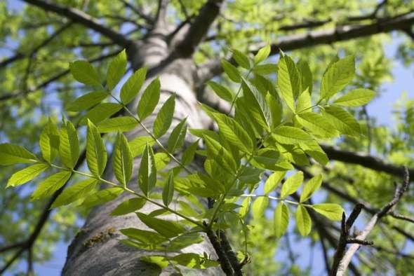 Tronc et branches du frêne