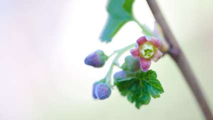 Fleur de cassis