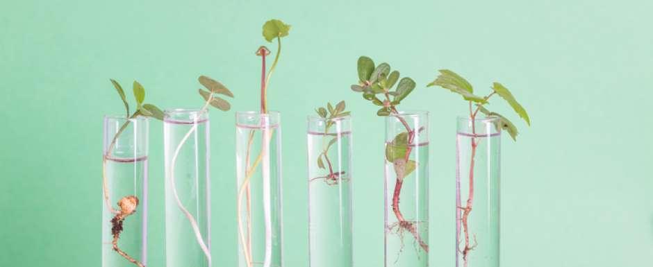Une plante éradique la bactérie de Lyme