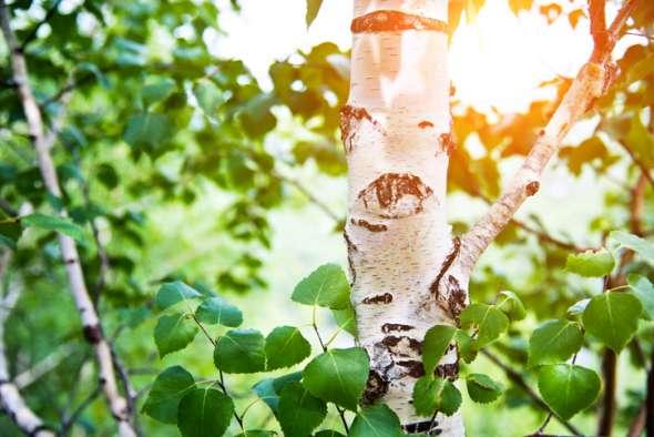 L'écorce blanche et les feuilles en losange du bouleau