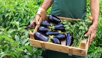 L'aubergine