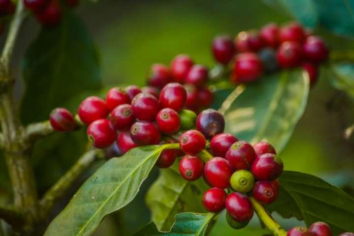 Thé, café, chocolat : excitant ou stimulant ?