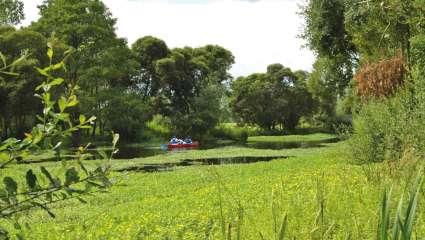 La jussie, plante invasive originaire d'Amérique du Sud.
