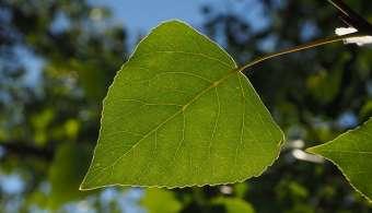 Le bourgeon de peuplier agit sur la sphère pulmonaire