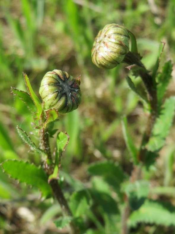 Marguerite (leucanthemum vulgare)