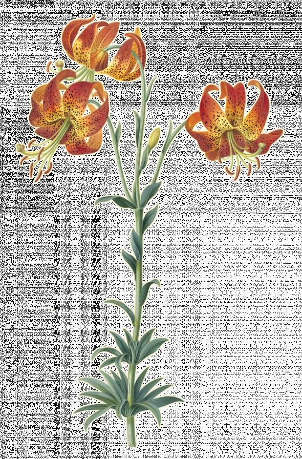 Lis martagon (lilium martagon)
