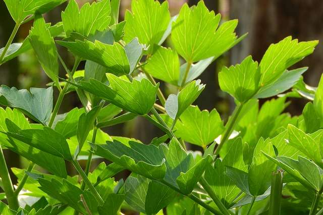 Lovage - Benefits and cultivation of this condiment - Plants and Health
