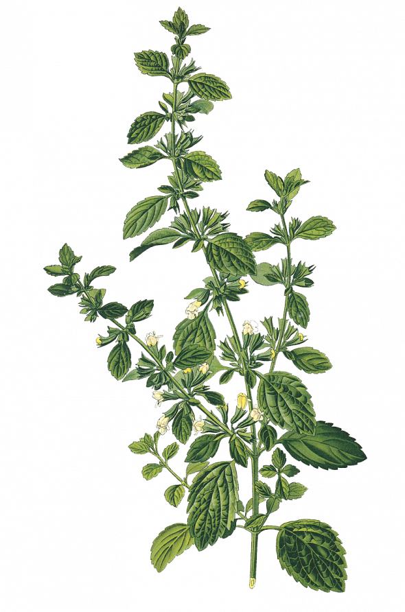 Mélisse officinale