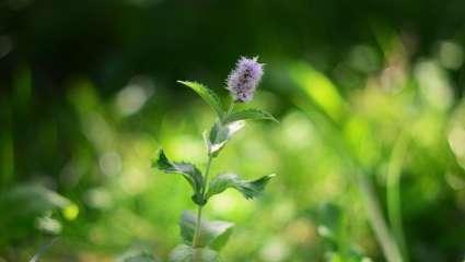 Cystite : tout vient  de la flore
