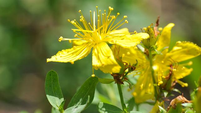 Du bon usage du millepertuis - Plantes et Santé