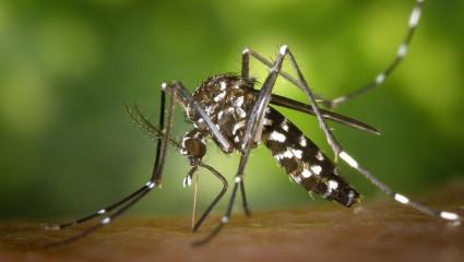 Les huiles essentielles face au moustique tigre