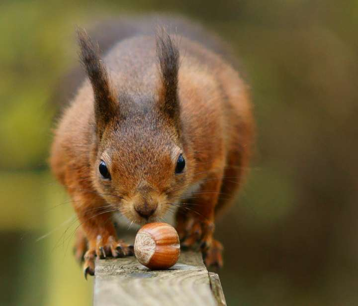 Écureuil + noisette