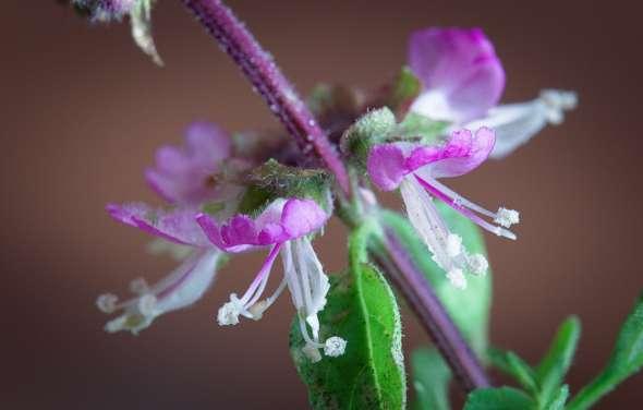 Basilic (Ocimum basilicum)
