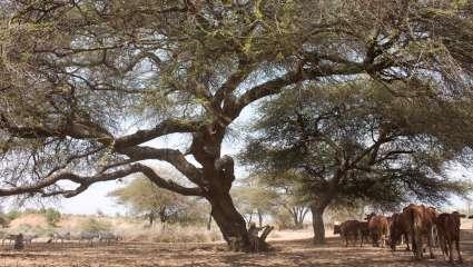 Oltepesi (Acacia tortilis)