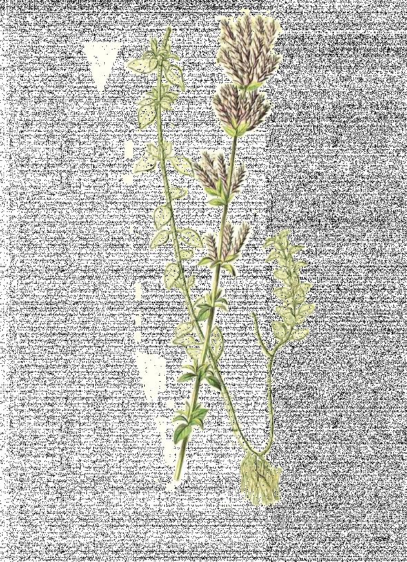 Origan compact (Origanum compactum)
