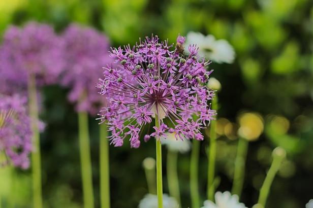 Allium sativum