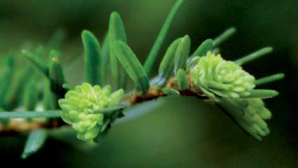 Le bourgeon de cèdre, un bouclier pour notre peau