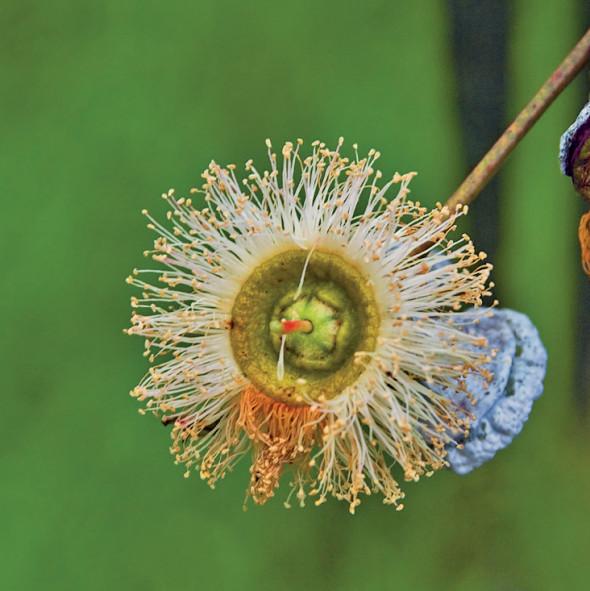 Quel eucalyptus pour mes bronches ? - Plantes et Santé