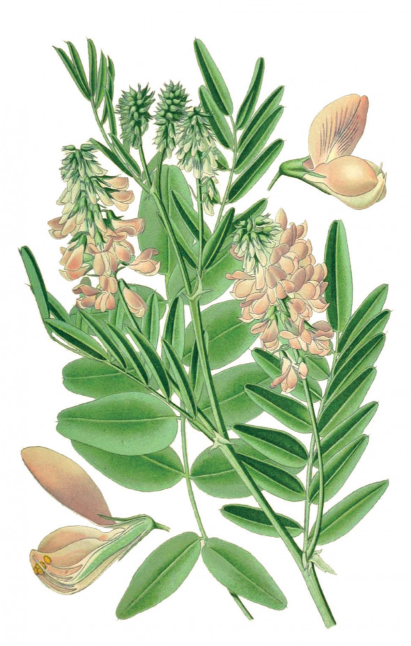 Galéga - (Galega officinalis)