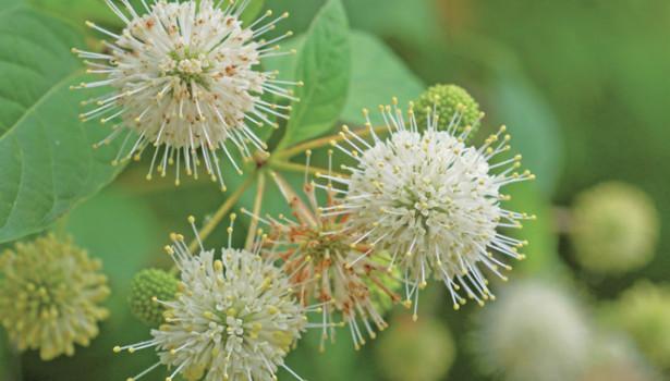 Le bois-bouton, Cephalanthus occidentalis