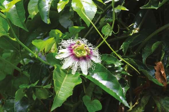 Passiflora edulis f
