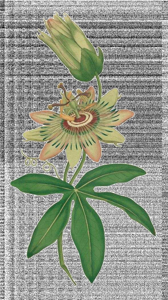 Passiflore (passiflora caerulea)