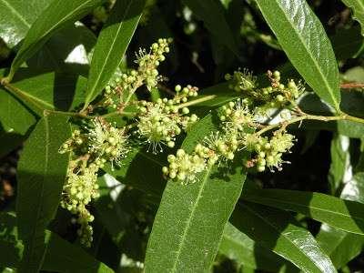 Myrcia salicifolia