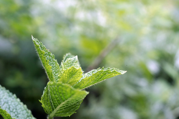 Menthe poivrée, plante médicinale