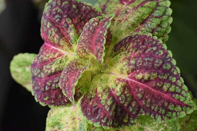 La Périlla - Fleur d'orient remplie d'omégas 3