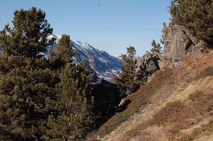 L'arolle, le pignon des montagnes