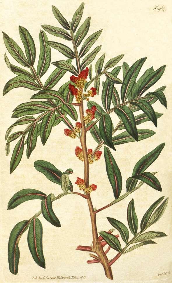 Arbre au mastic, ou Pistachier lentisque (Pistacia lentiscus)