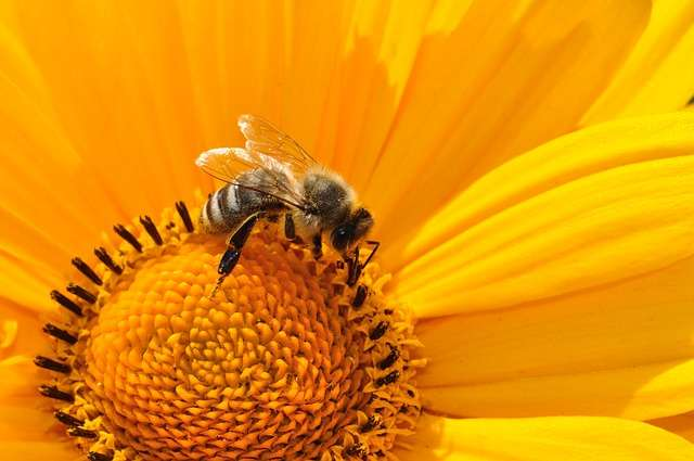 La propolis, antibiotique des abeilles