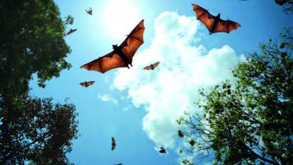 chauves-souris frugivores