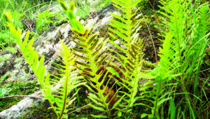 Gu Sui Bu (Rhizoma drynariae)