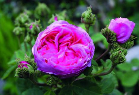 Rose Chapeau de Napoléon (Rosa centifolia var.cristata)