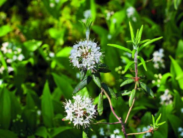 Lédon du Groenland (Ledum groenlandicum)