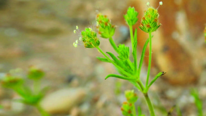 Psyllium brun (Plantago afra)
