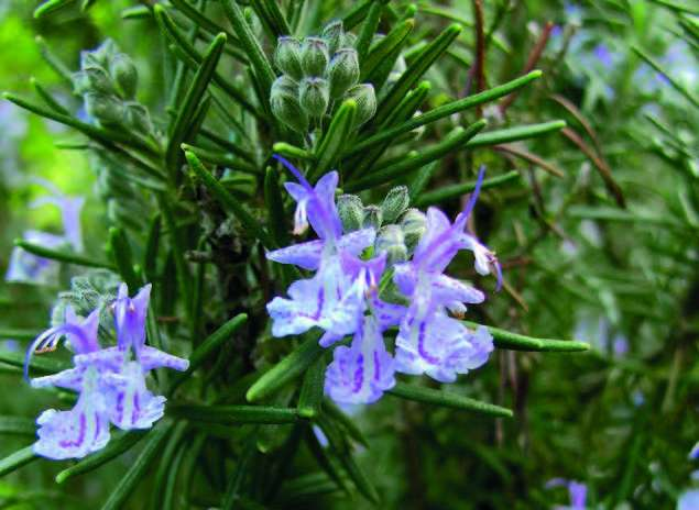 Romarin (Rosmarinus officinalis)