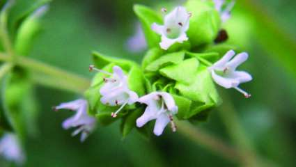 Marjolaine à coquille ou origan des jardins (Origanum majorana)