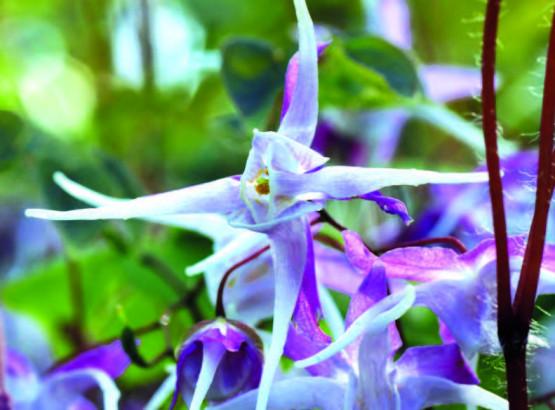 l'ika riso (Epimedium grandiflorum)